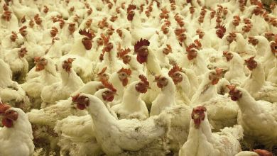 Photo of Pilgrim's produce 1.1 millones de pollos por día en México