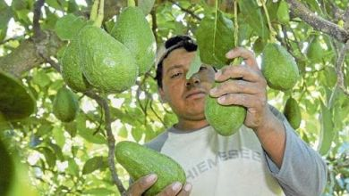 Photo of Exportaciones de aguacates mexicanas a Canadá rompen récord