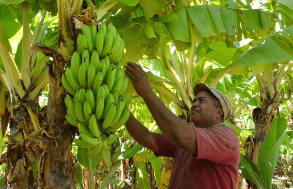 Banana exports from Mexico totaled 141.1 million dollars in the first half of 2020, a year-on-year increase of 1%, according to data from the Ministry of Agriculture.