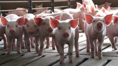 Pork exports from the United States to China totaled 1,942 million dollars from October 2019 to June 2020 (current season), which represented a year-on-year increase of 310%, according to data from the Department of Agriculture.