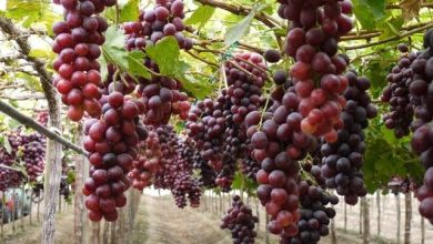 Mexico opened markets for exports of grapes, blackberries and bananas, among other products.