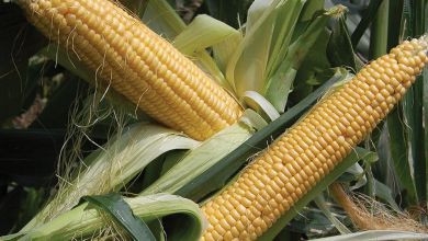 Photo of Corn: logistics benefits US exports to Mexico
