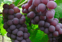 Imports of grapes from Mexico registered a fall of 23.9% from January to July 2020, to 50.3 million dollars, according to statistics from the Ministry of Economy.