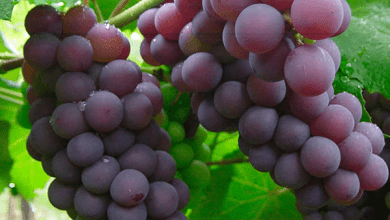 Photo of Grape imports from Mexico fall 23.9%
