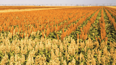 Las importaciones de sorgo a México en la campaña de comercialización 2020/2021 se ubicarían en 750,000 toneladas, 7% más en forma interanual, de acuerdo con estimaciones del Departamento de Agricultura de Estados Unidos (USDA). Sorghum imports to Mexico in the 2020/2021 marketing year would stand at 750,000 tons, 7% more year-on-year, according to estimates from the United States Department of Agriculture (USDA).