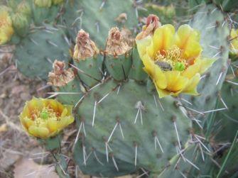 Opuntia camanchica, Carlsbad, NM