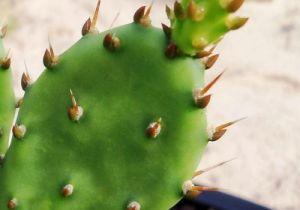Opuntia abjecta