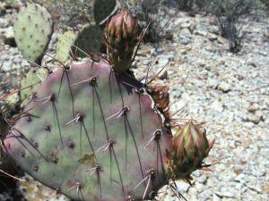 Opuntia blakeana cladode