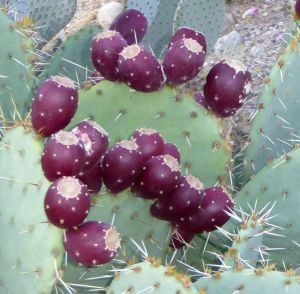 Opuntia orbiculata fruit