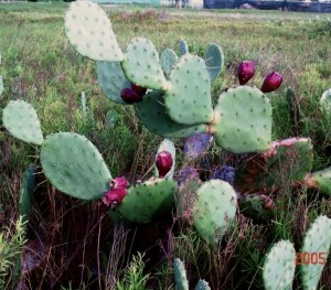 Opuntia anahuacensis