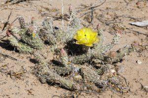 Opuntia arenaria