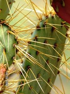 Opuntia chisosensis