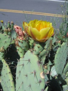 Opuntia occidentalis