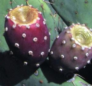 Opuntia orbiculata
