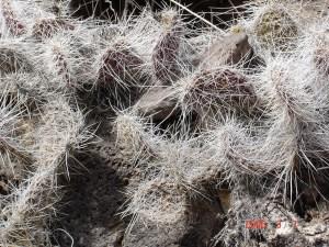 Opuntia trichophora