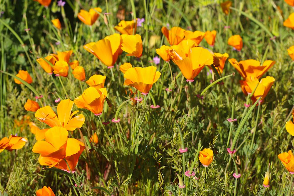 Wildflowers In Orange County Orange Coast