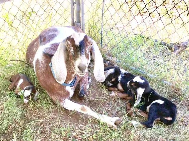 Momma goat with her brand new babies.