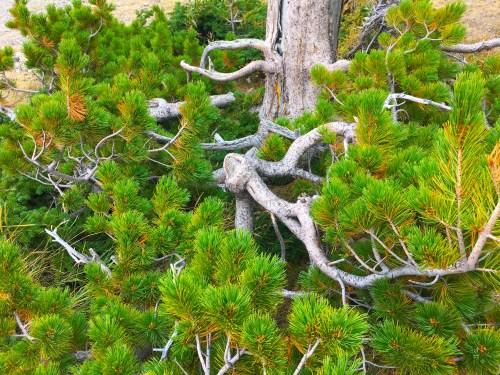Oregon whitebark pine. Photo: Kim Stafford