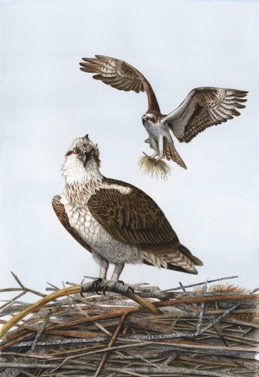 Sherwood works primarily in watercolor, but also uses colored pencils, pen and ink, graphite and scratchboard. She says an involved illustration, like these ospreys building a nest, can take 50 hours to complete.