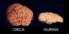 orca brain