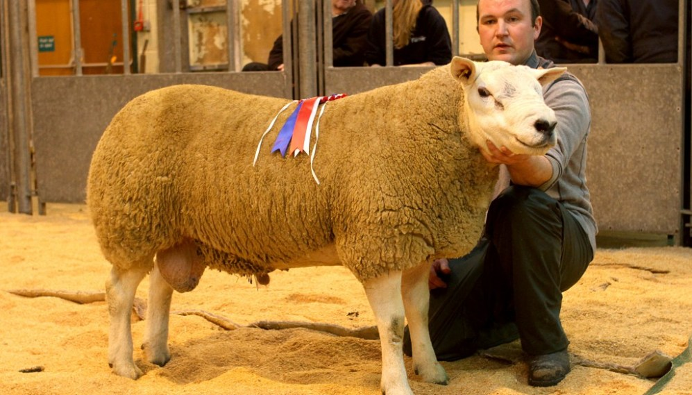 Skelbister ram lamb claims OSBA trophy - The Orcadian Online