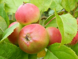 SAYR0022 unnamed apples small