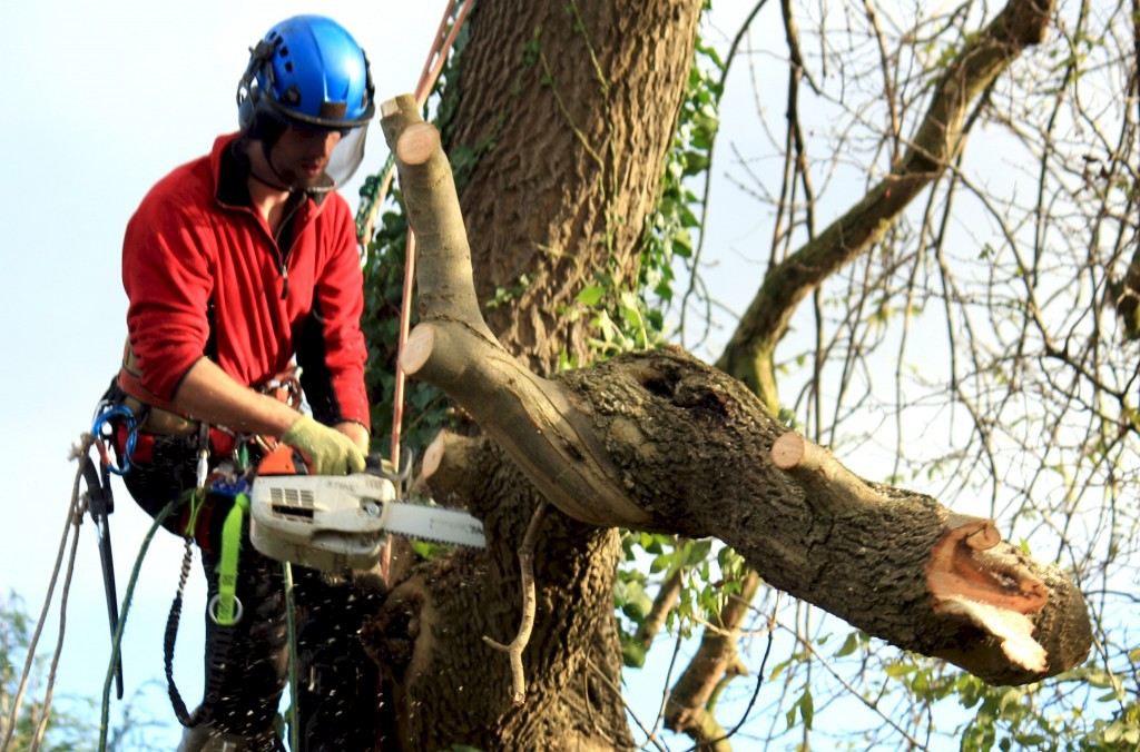 Dangerous Ash Tree Removal