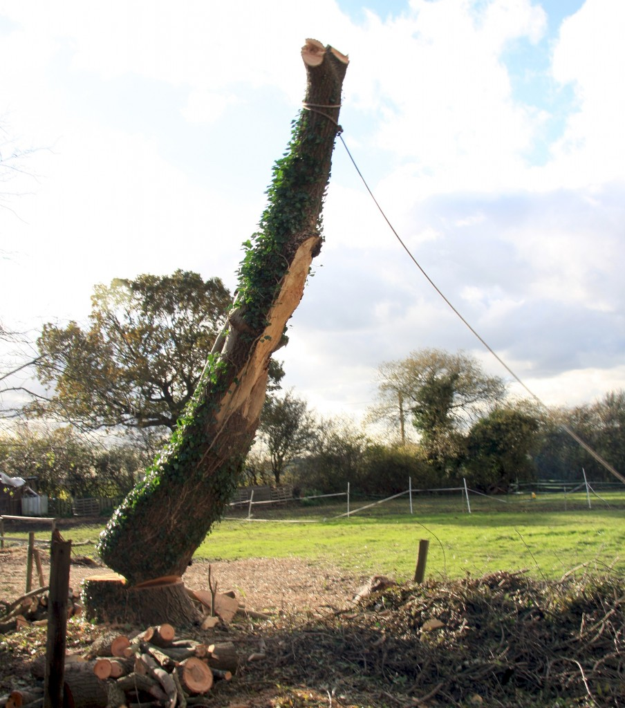 Dangerous Ash Tree Removal by Felling