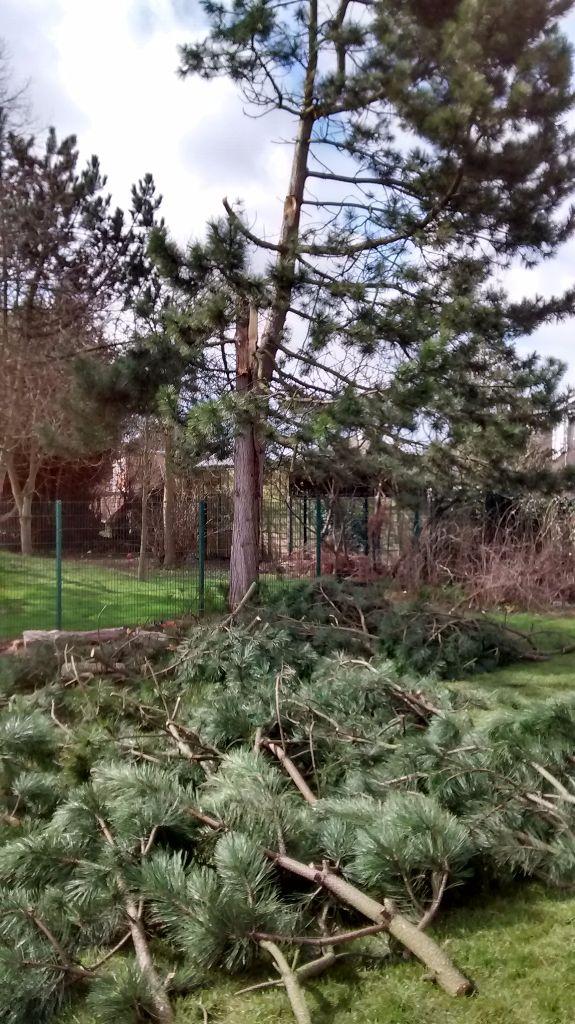 Scot Pine Tree Failure