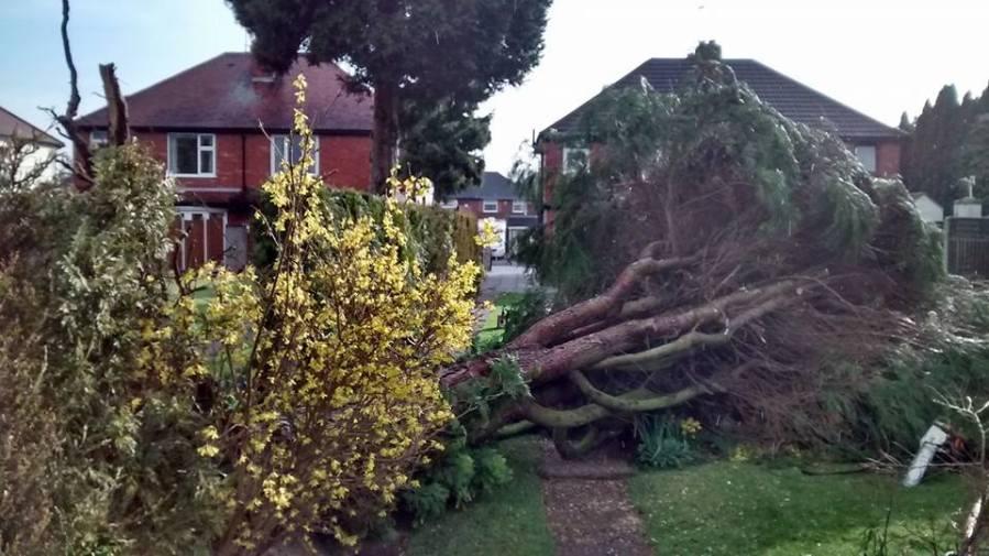 Wind Blown Fallen Tree