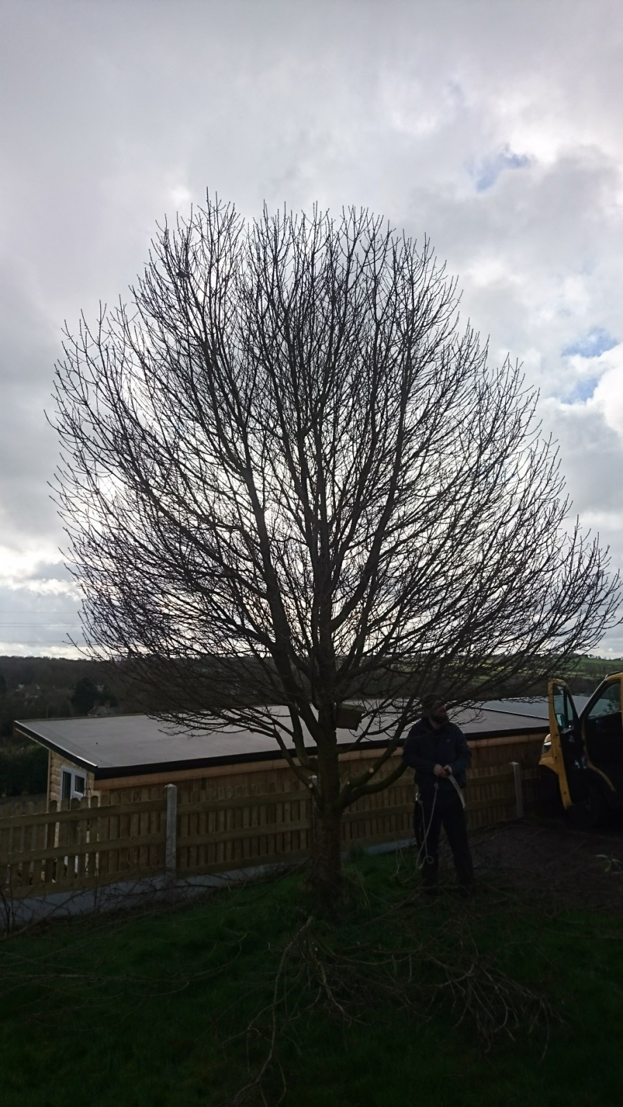 Cherry Tree Crown Reduction Before