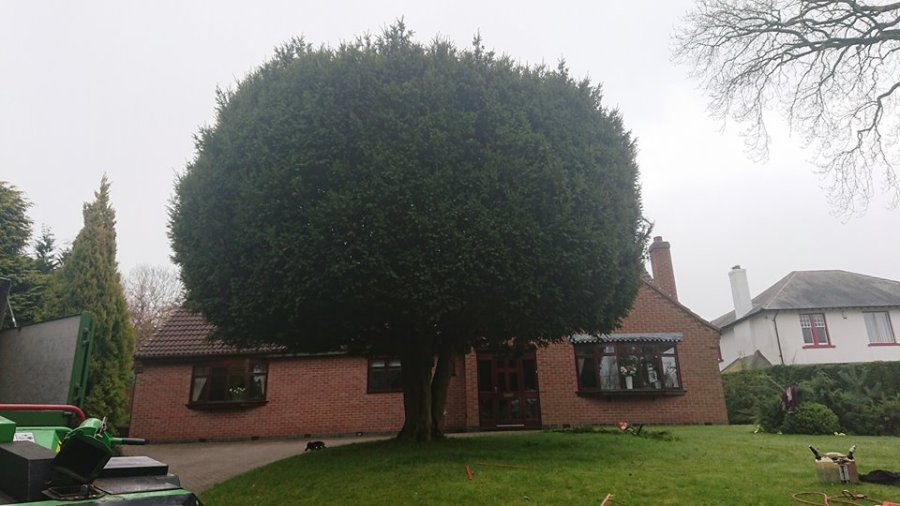 Yew Tree Before Trimming in Gedling, Nottinghamshire