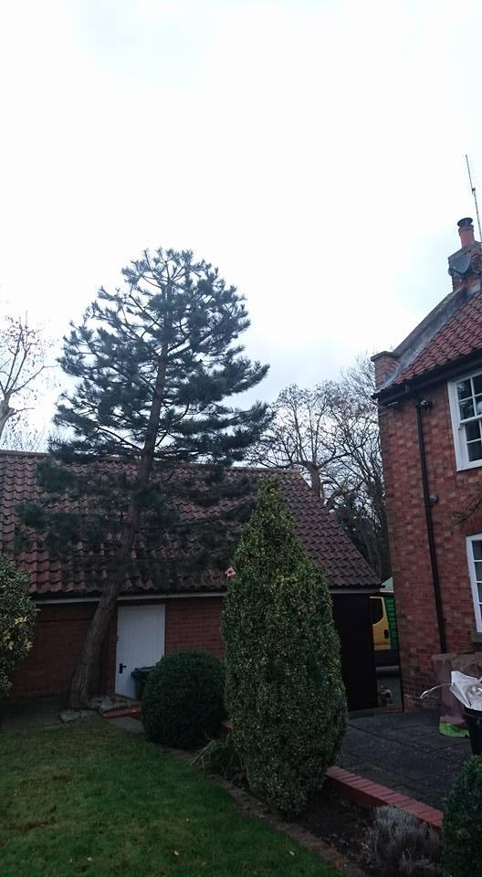 Scots Pine Tree Pruning, Plum Tree, Nottingham