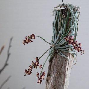 Orchidea Specie Botanica Chiloschista lunifera