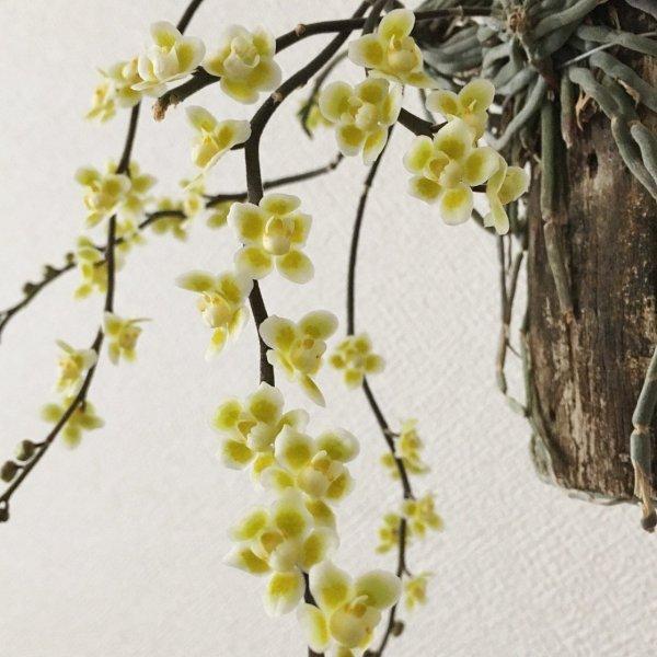 Orchidea Specie Botanica Chiloschista viridiflava