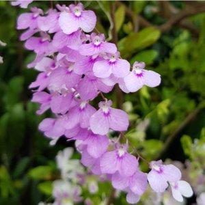 Orchidea Specie Botanica Ionopsis utricularioides