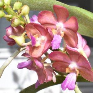 "Orchidea Ibrida Rhynchorides bangkok sunset x vanda wilas ""pink"""