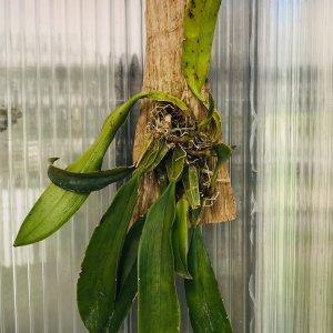 Orchidea Ibrida Bulbophyllum elizabeth ann buckleberry