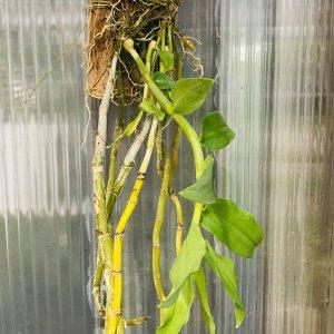 Orchidea Specie Botanica Dendrobium primulinum