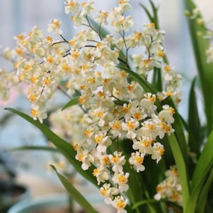 Orchidea Ibrida Oncidium twinkle (yellow)