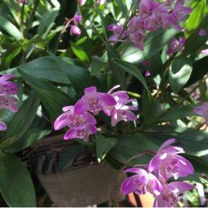 Orchidea Specie Botanica Dendrobium kingianum