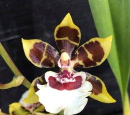 Orchidea Ibrida Oncidium Jungle Monarch