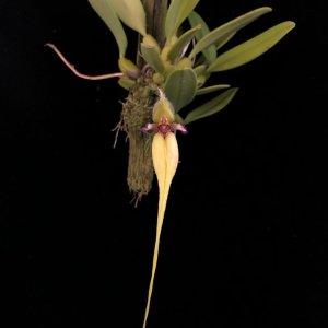 Bulbophyllum fascinator var. semialba