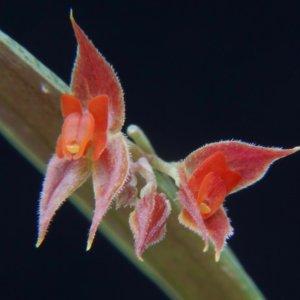 Lepanthes clareae