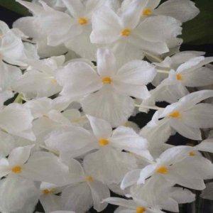 Dendrobium farmeri var. petaloid album