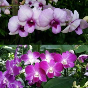 Dendrobium hybrid – mix color