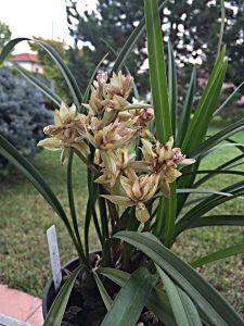 cymbidium-ensifolium