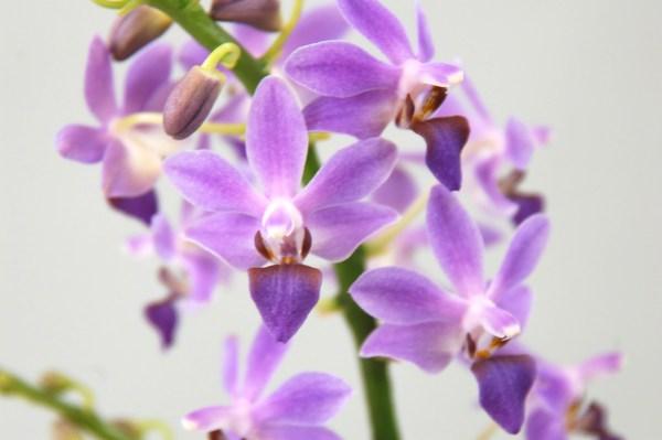 Doritaenopsis-Purple-Gem--Aida.jpg