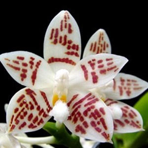Phalaenopsis-zebrina.jpg
