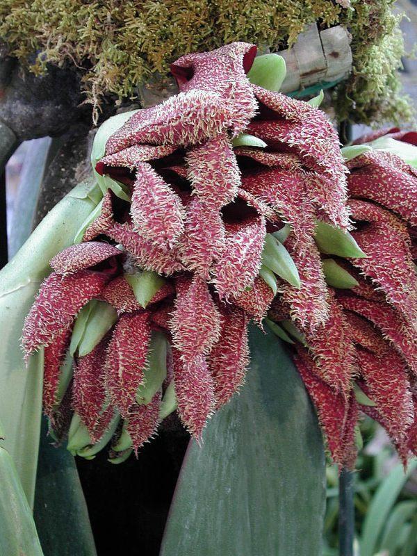 Bulbophyllum-phalaenopsis--planta.jpg